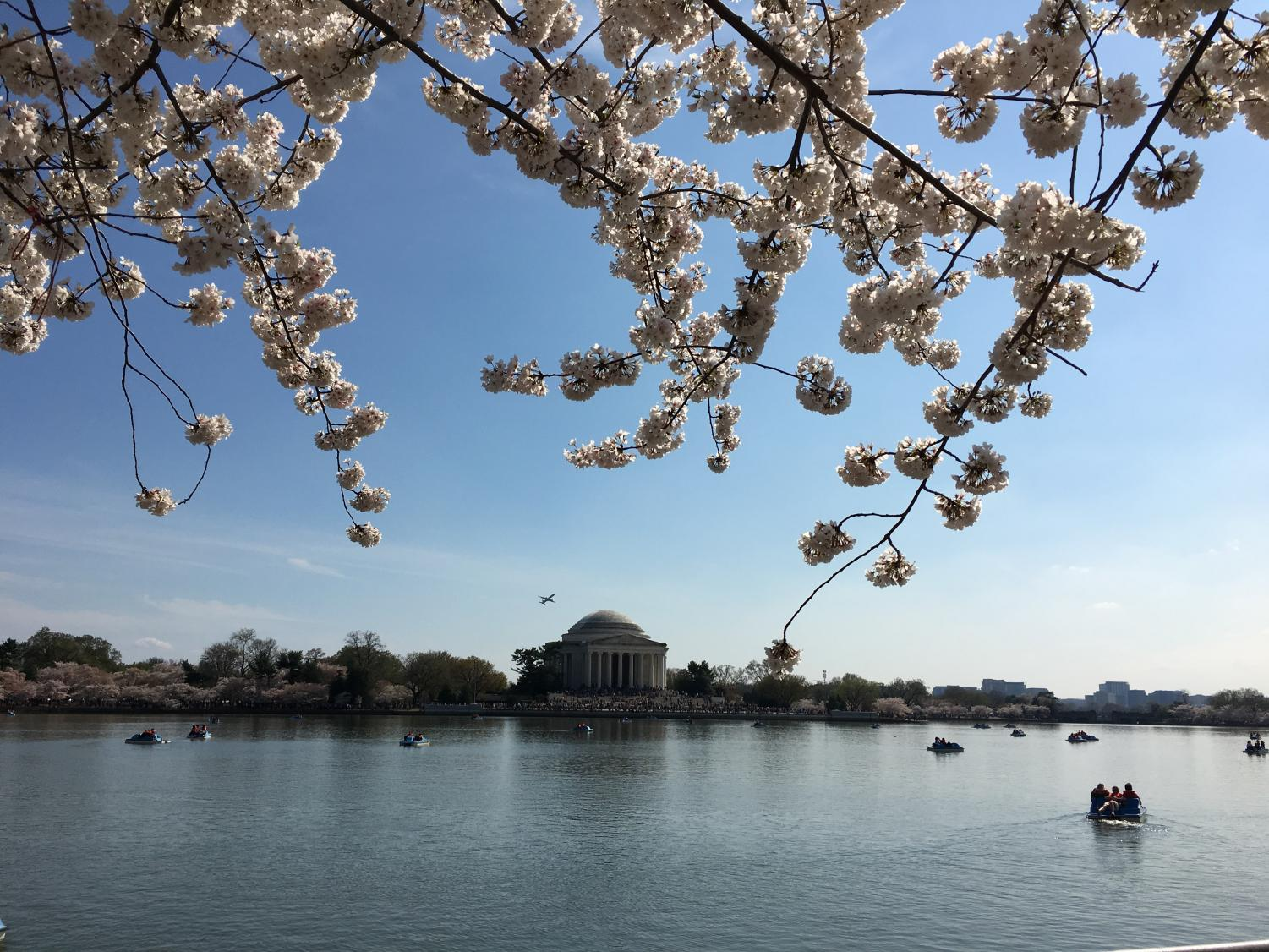 Cherry blossoms in the Tidal Basin Park fame the Jefferson Memorial.