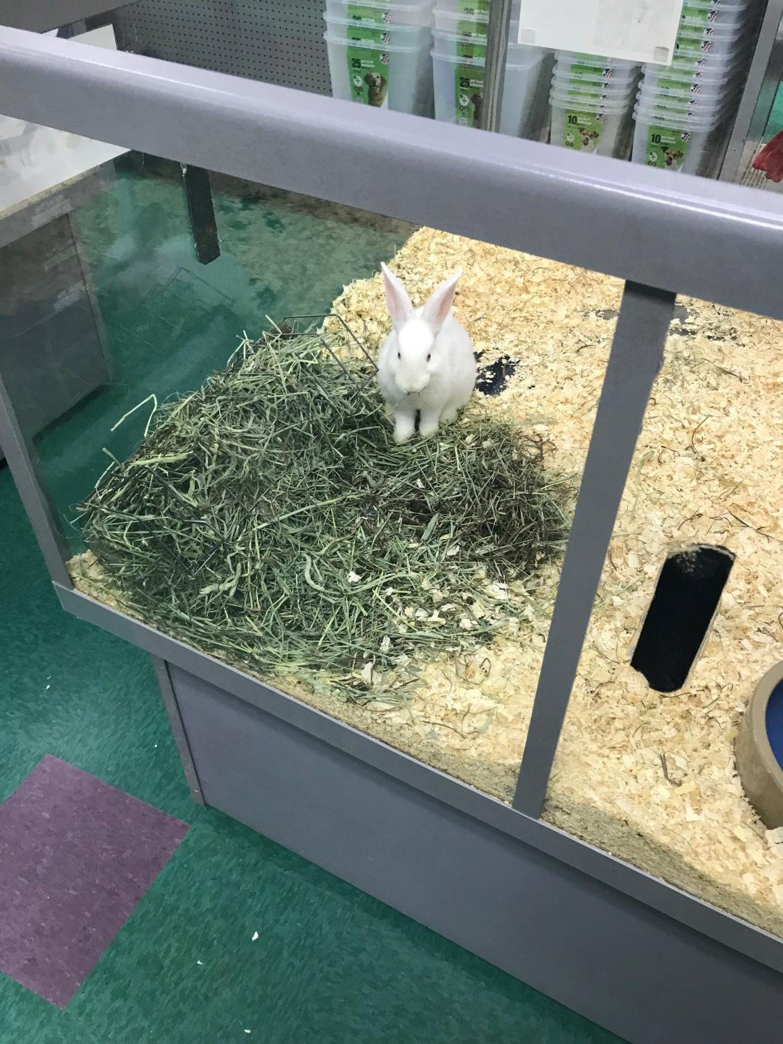 A rabbit at Petland sits in an enclosure with multiple other bunnies.